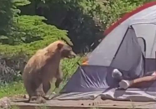 медведь и незнакомец в палатке