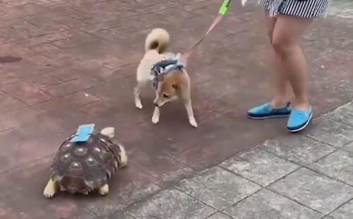 знакомство с жуткой черепахой