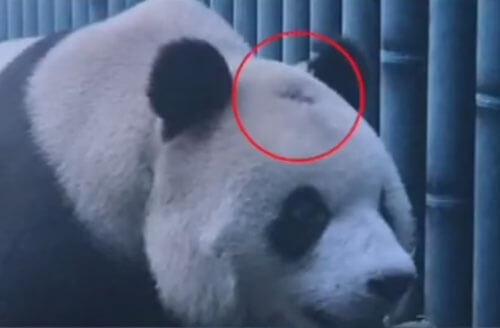 панда начала лысеть