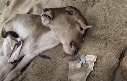 рождение двухголового телёнка