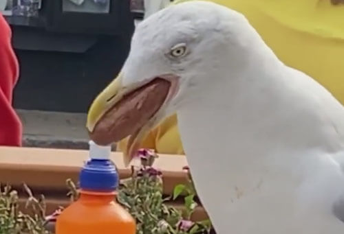 the seagull swallowed the sausage whole