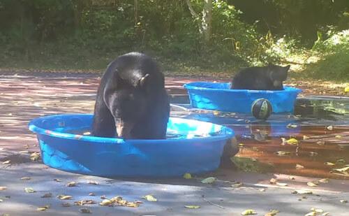 медведица и детёныш в бассейне