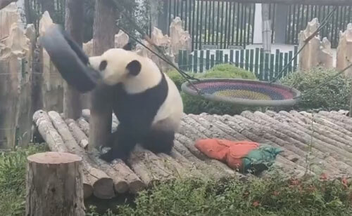 панда в необычной шляпе