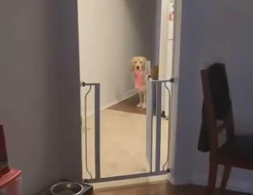 dog steals underwear