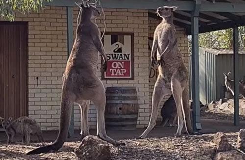 кенгуру дерутся рядом с пабом