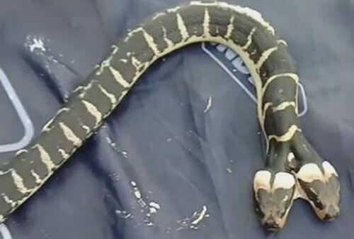 двухголовая змея приползла в гости