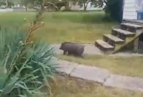 погоня за неуловимой свиньёй
