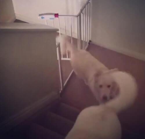 умная собака открывает воротца