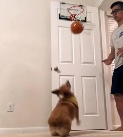 корги звезда баскетбола