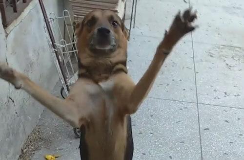 собака радостно встречает хозяина