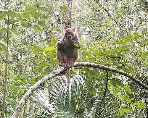 обезьяны ныряют в реку с дерева
