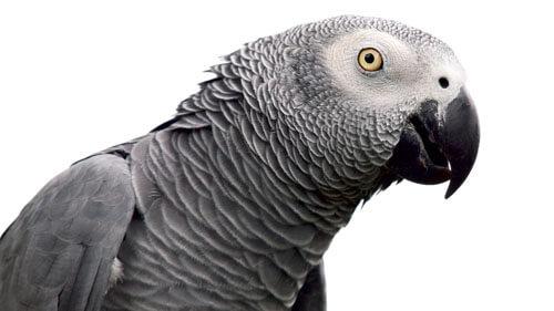 попугаев разделили из-за ругани