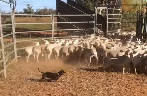 такса пасёт овец в австралии