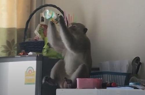 вороватая обезьяна в доме