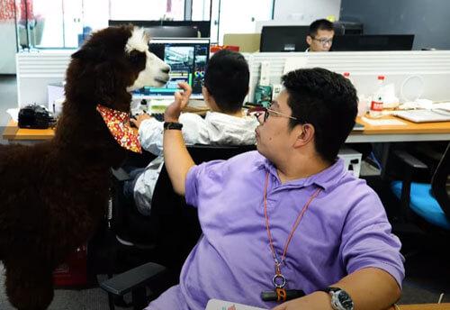 альпака живёт в офисе