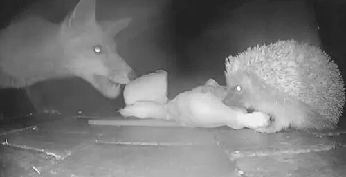 the fox stole food from the hedgehog