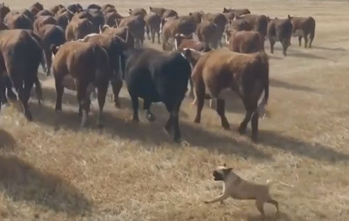 pugs graze cows and goats