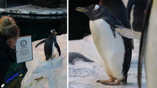 самая старая самка пингвина