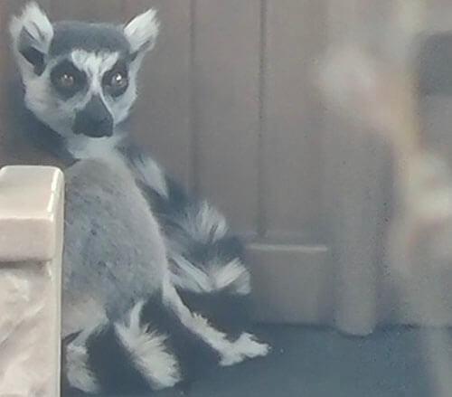 похищенный из зоопарка лемур