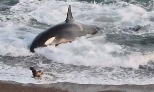 спасение морских львов от косатки