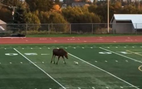 спортивный лось играет в футбол