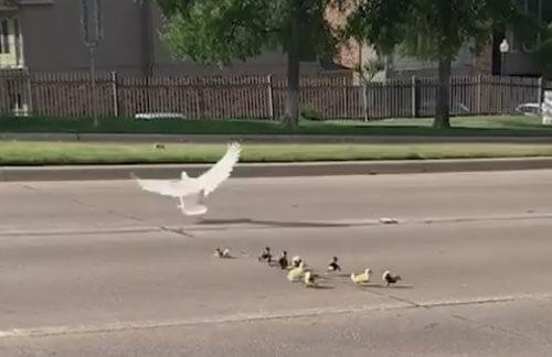 везучие утки на дороге