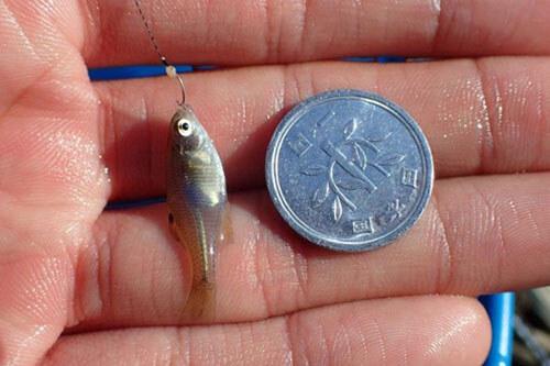 самая маленькая пойманная рыбка