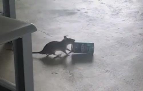 крыса с банкой из-под кофе