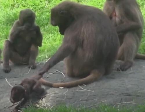 обезьяна справилась с детёнышем