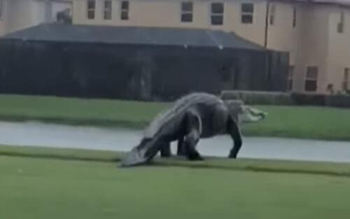 очень крупный аллигатор