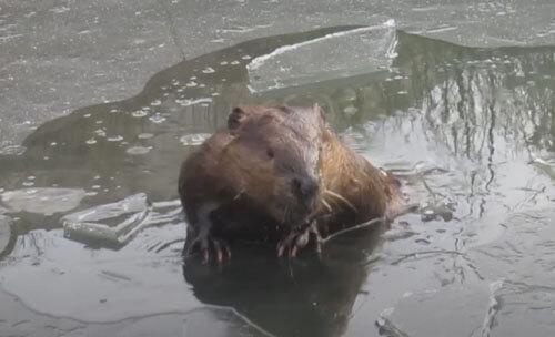 бобр плавает подо льдом