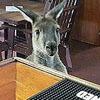 кенгуру пришёл в паб ради закуски