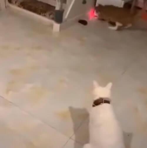 кошки с лазерной указкой