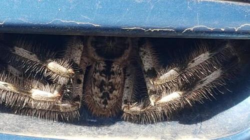 паук под дверной ручкой машины
