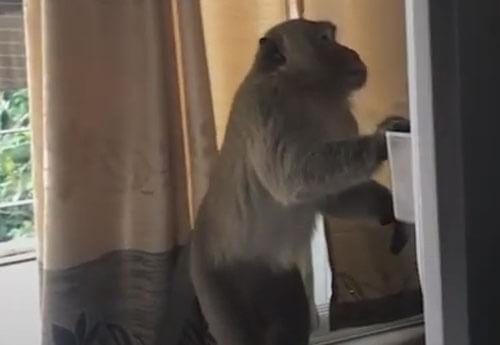 обезьяна украла апельсиновый сок