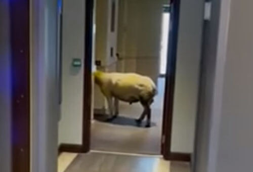 овца в отеле ждёт лифт