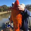 гигантская золотая рыбка в озере