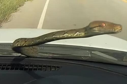 питон прокатился на машине