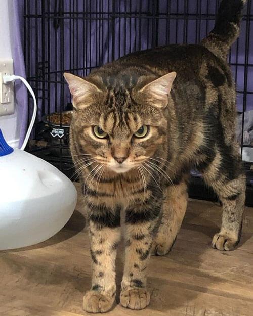 кот со злобным лицом