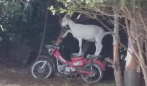 коза влезла на мотоцикл