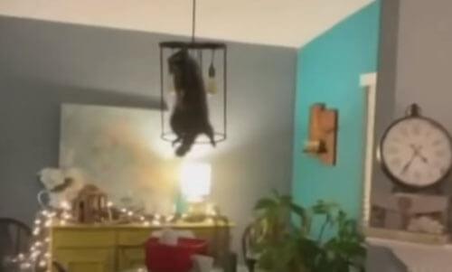 енот пробрался в дом