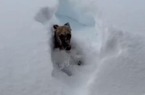 собака нырнула в снег