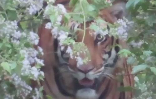 тигр следил за слоном из кустов