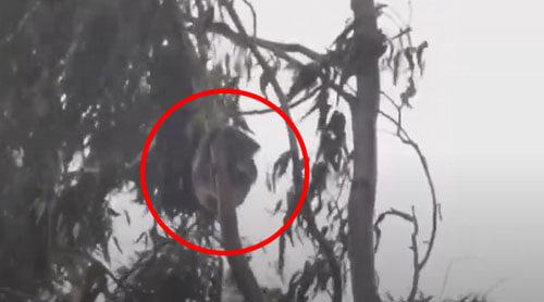 коала спит на качающемся дереве