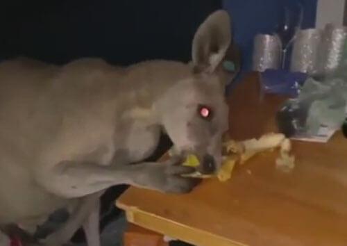 кенгуру в палатке ест банан