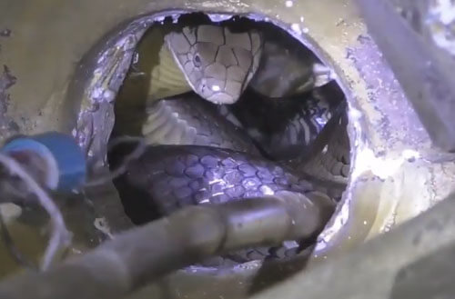 кобра в священной статуе