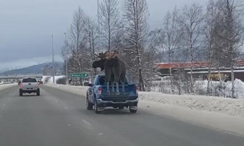 чучело лося в кузове