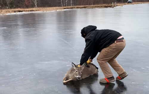 the deer is pushed across the ice to the shore