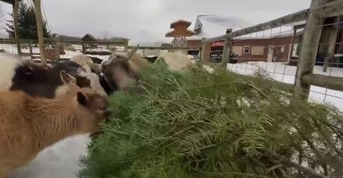 праздничные ёлки для коз