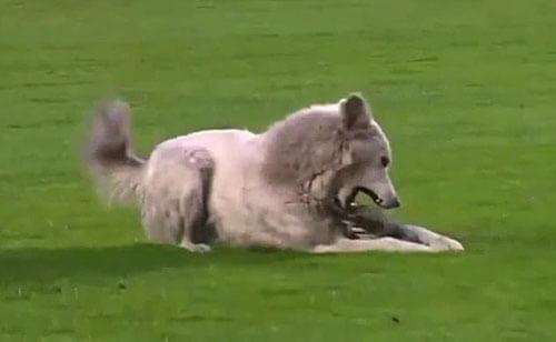 собака прервала футбольный матч